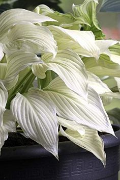 Hosta plant - How to grow & care