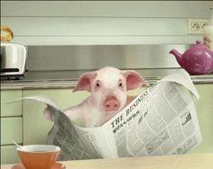 Varkentje leest de krant