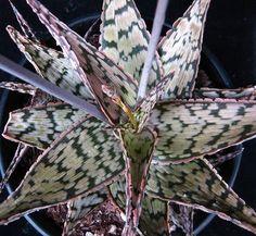 Aloe 'Wunderkind'