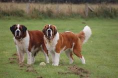 St. Bernard Dogs - Yahoo Image Search Results
