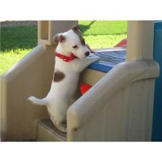 (Jack Russel Terrier) I always wanted one as a kid :) Dog Pictures, Animal Pictures, Cute Pictures, Jack Russell Puppies, Jack Russell Terrier, Pet Dogs, Dog Cat, Doggies, Cute Puppies