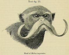 Monkey from the Amazon Region Proceedings of the Zoological Society of London (1907)