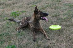 Dutch shepherd - Frisbee Lover by ~illuminara on deviantART