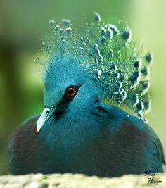 Victoria Crowned Pigeon, very large, ground-dwelling pigeon native to the New Guinea region.