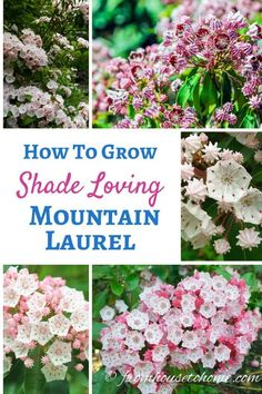 Shade shrubs that are easy to grow, have beautiful flowers and have evergreen leaves can be hard to find. Mountain Laurel checks all these boxes and is perfect for your shade garden. Shade Loving Shrubs, Shade Shrubs, Shade Perennials, Flowers Perennials, Shade Plants, Planting Flowers, Perennial Flowering Vines, Indoor Flowering Plants, Shade Flowers
