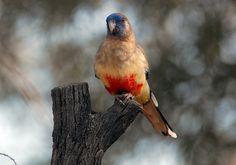 Blue Bonnet Parrot - Location Yowah