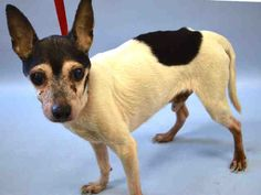 GONE--KILLED  Dear JOVE was killed after just 4 days in the shelther and he was´t in the kill list either, so no one share him for rescue, poor JOVE, RIP sweet boy.  A1047285  MALE, WHITE / BLACK, RAT TERRIER MIX, 13 yrs STRAY – STRAY WAIT, NO HOLD Reason STRAY Intake condition GERIATRIC Intake Date 08/09/2015