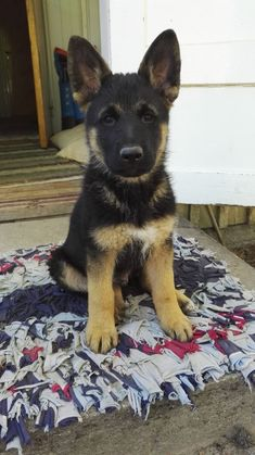 My little German sheperd boy Mako, is growing bigger and bigger every day.