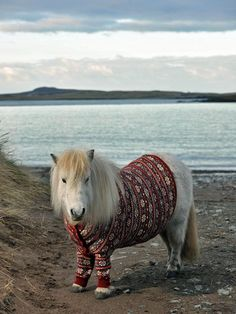 Shetland Ponies in Cardigans, Photos & Video – VisitScotland I just want to kiss this little guy! (Scotland Shetland Ponies in Cardigans) xo. - Art Of Equitation The Animals, Baby Animals, Funny Animals, Gato Animal, Mundo Animal, Animal Pictures, Cute Pictures, Pet Clothes, Dog Clothing