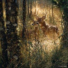"""A Golden Moment"" - whitetail deer - by artist Collin Bogle (19)"