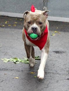 TO BE DESTROYED - 05/27/14 Manhattan Center   My name is BUTCH. My Animal ID # is A1000628. I am a male br brindle and white pit bull mix. The shelter thinks I am about 3 YEARS old.  I came in the shelter as a OWNER SUR on 05/22/2014 from NY 10467, owner surrender reason stated was ALLERGIES.  https://www.facebook.com/photo.php?fbid=809417809071100&set=a.611290788883804.1073741851.152876678058553&type=3&theater