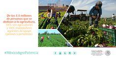 De los 5.5 millones de personas que se dedican a la agricultura, 56% son agricultores y 44% trabajadores agrícolas de apoyo (peones o jornaleros). SAGARPA SAGARPAMX #MéxicoAgroPotencia