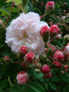 Hybrid Sempervirens Rose: Rosa 'Princess Marie' (France, 1829)