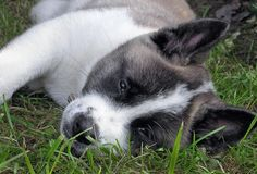 #Akita #Puppy #Dog Akita Puppies, Akita Dog, Dogs And Puppies, Japanese Akita, American Akita, Getting A Puppy, Golden Retrievers, Jack Russell Terrier, German Shepherds