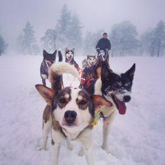 mushing1:  | Hundekjøring #husky #budor #findagpåjobblengell | instagram