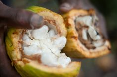 Puerto Viejo, Costa Rica: A walk through a chocolate tour leads me to find out I'm really eating fruit?