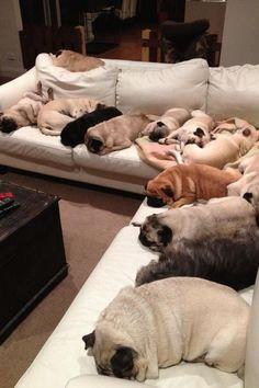 so many pugs!!!