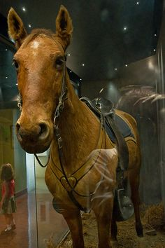 Comanche, custers horse at the battle of the little big horn