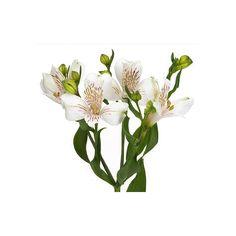 Alstroemeria blanc - Fleurs coupées