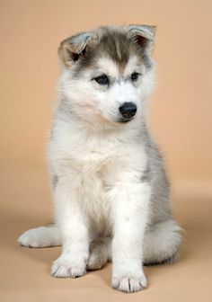images of unusual puppies | very cute siberian husky puppy whose ears haven't stood up yet