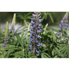 If your garden needs a pop of colour, flower farmer Sarah Nixon shares the best perennials to plant in Canada and how to care for them. Canadian Garden Ideas, Growing Flowers, Planting Flowers, Lupine Flowers, Best Perennials, Flower Farmer, Backyard Landscaping, Beautiful Gardens, Canada