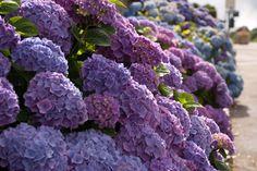 hydrangea  | Garden Flowers: Hydrangeas in all their different forms | Lisa Cox ...