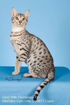 Dreamfinder Ocicats