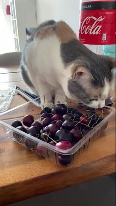 She loves to PLAY with (not eat) cherries 🍒 - aww Funny Animal Memes, Cute Funny Animals, Funny Animal Pictures, Cute Baby Animals, Cat Memes, Animals And Pets, Funny Cats, Funniest Animals, Cute Cats And Kittens