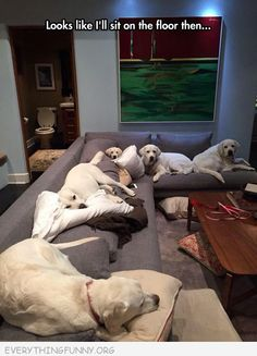 funny dog picures labradors taking up all of the couches i guess i'll sit on the floor then