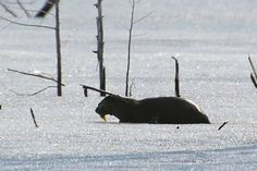 MyNews contributor Stace Wood sent in this photo of an otter eating a fish on Elliot Lake near Blind River, Ont. on Wednesday, March Live Breaking News, March 21, Adventure Awaits, Otters, The Great Outdoors, Blind, Ontario, Wednesday, Around The Worlds