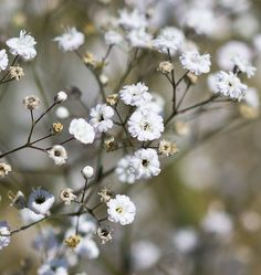Visit West Coast Seeds How to Grow Gypsophila Baby's Breath from Seeds instructions. Plants grow quickly from seed, start outdoors, or direct sow in early..