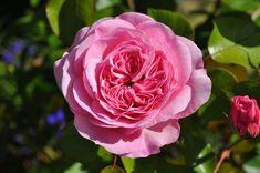 Free Image on Pixabay - Rose, Flower, Garden, Pink, Blossom