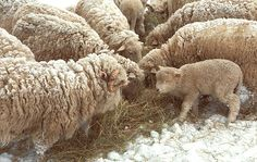 You can see my fine art photography at Fine Art America.  Also available on products.  Thank You.  George Robinson, Vermont Photographer. Vermont, sheep, art, fine art, photography, made in vermont