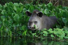 Tapir, Pantanal  http://travel.nationalgeographic.com/travel/countries/your-brazil-photos/#/tapir-pantanal_28607_600x450.jpg
