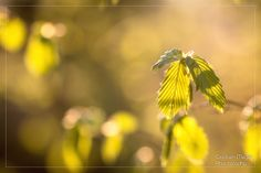 Beech foliage - spring is finally here :-)