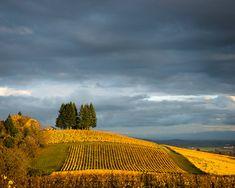 Autumn vineyard photo - fall colors wine Oregon Willamette