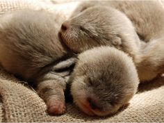 Baby Otters.  So cute.