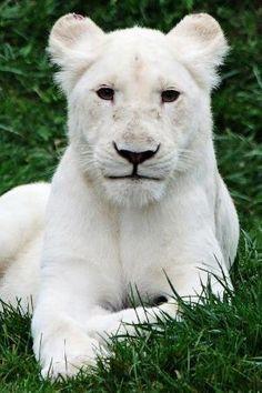 An albino, female lion :) Animals And Pets, Baby Animals, Cute Animals, Wild Animals, Beautiful Creatures, Animals Beautiful, Gato Grande, Beautiful Lion, Majestic Animals