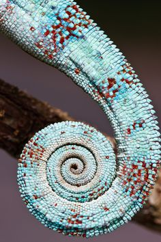 Fractals In Nature, Spirals In Nature, Art Nature, Reptiles, Lizards, Patterns In Nature, Textures Patterns, Amazing Animal Pictures, Fibonacci Spiral