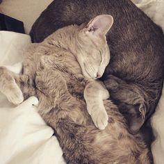 Frida & Esteri, oriental shorthair cats