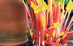 The best time to plant rhubarb crowns is from November to December when they are dormant, but you can wait until spring.  Rhubarb grows be...