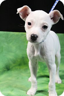 Meet Harper, a Chihuahua Mix spayed, up to date w/ shots, good w/ kids, good w/ dogs & good w/ cats. Harper is super sweet & has just blossomed in foster care! She & her sister Harlowe were surrendered to a local high kill shelter. Her foster mom reports that she is doing great on housebreaking, loves to play, gets along well w/the other dogs & is a great couch companion! Please email us:  beyondbarsanimalrescue@gmail.com  website: www.beyondbarsanimalrescue.org for an application