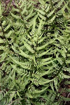 "Athyrium niponicum 'Lemon Cream' (Lemon Cream Japanese Painted Fern) Zone: 5a to 8b,guessing Height: 18"" tall Culture: Part Sun to Light Shade"