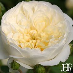 Nothing says forever like this old fashioned rose that will continually bloom and climb in your garden. Imagine Perpetually Yours™️ wrapping around a trellis, creating an atmosphere of alluring romance