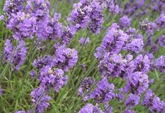 LAVENDER & A LIST OF RECIPES AND INFORMATION ABOUT CONSUMING IT@