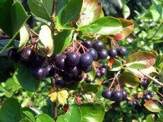 Meine Aronia-Beeren #aronia #gardening