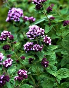 Un articol despre planta medicinala si aromatica oregano ( sovarf) Plant