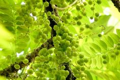 Indian gooseberry, amla has been traditionally used as a home remedy to treat various health issues. You may read more on Amla Health Benefits by click… Thin Hair Styles For Women, Acne Face Wash, Stop Hair Loss, Hair Loss Women, Hair Loss Treatment, Facial Care, Medicinal Plants, The Fresh, Home Remedies