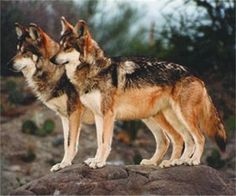 Mexican Gray Wolves ~ Boy on left, Girl on right.