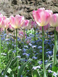 Pink tulips. #Flower #Spring #Love